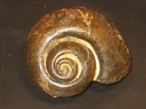 Gyrodes gentii ( Sowerby )
