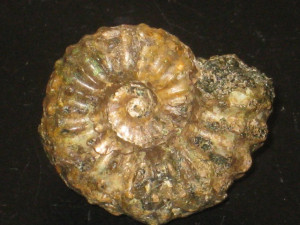 Lyelliceras pseudolyelli ( Parona & Bonarelli, 1896 )