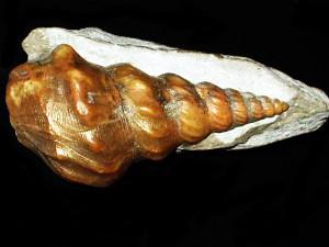 Pseudanchura carinata ( Mantell, 1822 )