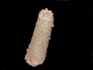 Tonohamites cf. aequicingulatus ( Koenen, 1902 )