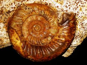 Microbajocisphinctes tenuicostatus ( Fernandez-Lopez, 1975 )