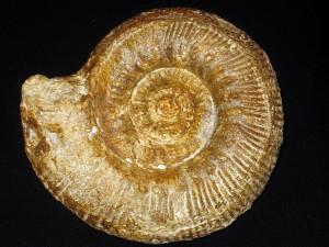 Stephanoceras ( Stephanoceras ) brodioei ( Sowerby, 1822 )