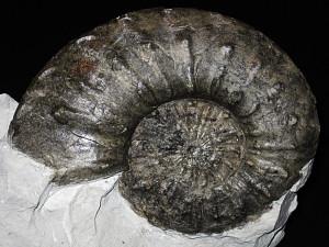 Criosarasinella furcillata ( Thieuloy, 1977 )