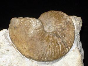 Karakaschiceras pronecostatum ( Felix, 1891 )