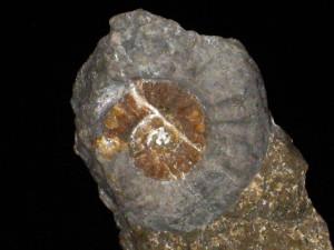 Psiloceras ( Caloceras ) posttorus ( Lange, 1952 )