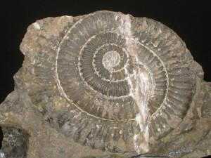 Paracaloceras ( Paracaloceras ) coregonensis ( Sowerby in de la Beche, 1831 )