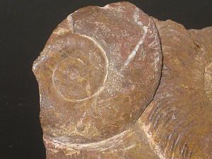 Pleuracanthites ( Parapsiloceras ) biformis ( Sowerby & Canavari in Wähner, 1884 )