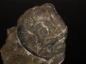 Psiloceras ( Megastomoceras ) megastoma ( Gümbel in Wähner, 1882 )