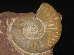 Psiloceras ( Storthoceras ) circacostatum ( Wähner, 1882 )