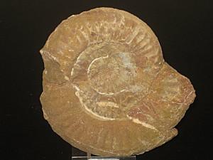 Psiloceras ( Storthoceras ) haploptychum ( Wähner, 1882 )