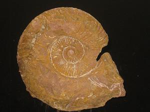 Schlotheimia ( Encyloceras ) donar var. pachygaster ( Wähner, 1884 )