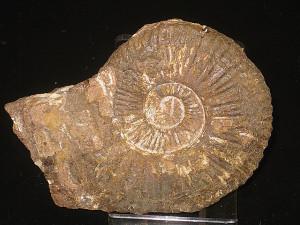 Schlotheimia exechoptycha ( Wähner 1882 )