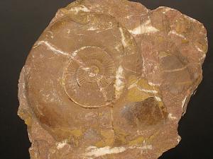 Schlotheimia extranodosa ( Wähner, 1882 )