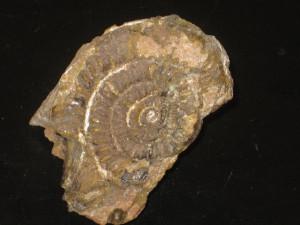 Schreinbachites retroversicostatus ( Canavari, 1882 )