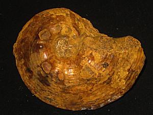 Phlycticeras pustulatum var. nodosum ( Quenstedt, 1887 )