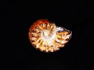 Spinammatoceras pugnax ( Vacek, 1886 )