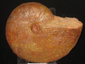 Macrocephalites ( Macrocephalites ) madagascariensis ( Lemoine, 1910 )