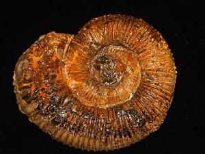 Peltoceras ( Parapeltoceras ) stolleyi ( Prieser, 1937 )