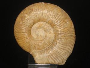 Grammoceras ( Pseudogrammoceras ) fallaciosum ( Bayle, 1878 )