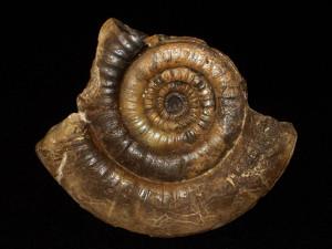 Leptechioceras macdonnelli ( Portlock, 1843 )