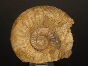 Garantiana ( Garantiana ) baculata ( Quenstedt, 1857 )