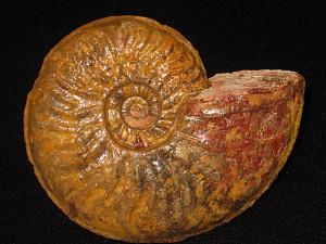 Ludwigia ( Hyattia ) wilsoni ( Buckman, 1899 )
