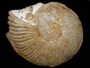Oxytropidoceras ( Oxytropidoceras ) powelli ( Young, 1966 )