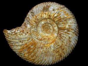 Parkinsonia ( Durotrigensia ) clapense ( Maubeuge, 1951 )