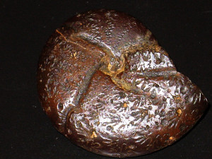 Calliphylloceras altisulcatum ( Prinz, 1904 )