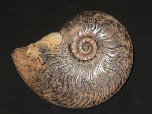 Harpoceras subexaratum ( Bonarelli, 1899 )