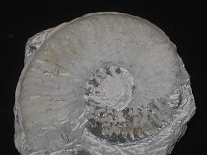 Haugia ( Haugiella ) vitiosa ( Buckman, 1899 )