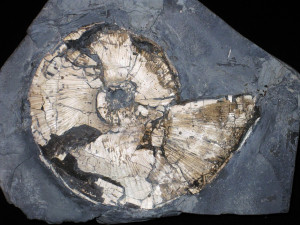 Lytoceras ( Perilytoceras ) jurense ( Zieten, 1833 )