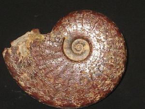 Osperleioceras ( Osperleioceras ) beauliziense ( Monestier, 1821 )