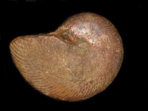 Polyplectus pluricostatus ( Haas, 1913 )