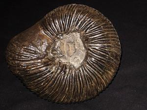 Dichotomites ( Dichotomites ) tardescissus ( Koenen, 1902 )
